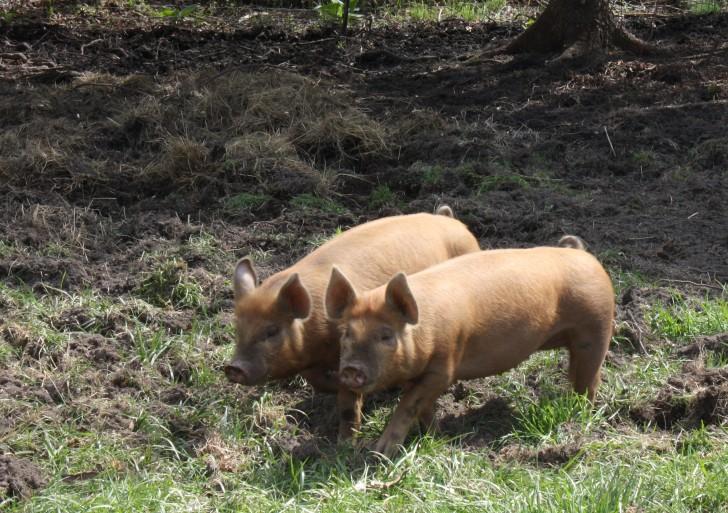 Szokujące nagrania z polskiej fermy świń
